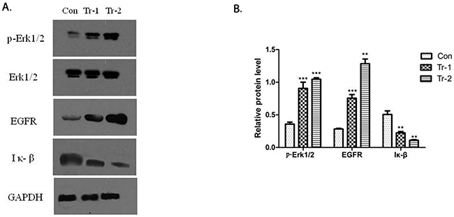 WT/Patu8988 cells were treated with different concentrations of 4H7 for 24 h.
