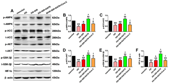In high glucose-treated H9c2 cardiomyoblasts, DATS markedly enhanced cellular AMPK/ACC signaling and AKT/GSK-3β/HIF-1α signaling, which was blunted by Compound C co-administration.