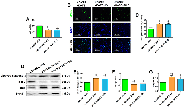 LY294002 and 2-methoxyestradiol inhibited the ameliorative effect of DATS on simulated ischemia reperfusion-induced cellular apoptosis in high glucose-treated H9c2 cells.