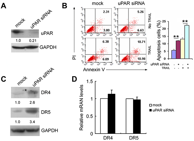 uPAR siRNA induces apoptosis and increases DR4 and DR5 expression.