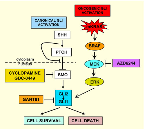 Schema of pathways for the aberrant activation of GLI in colon cancer