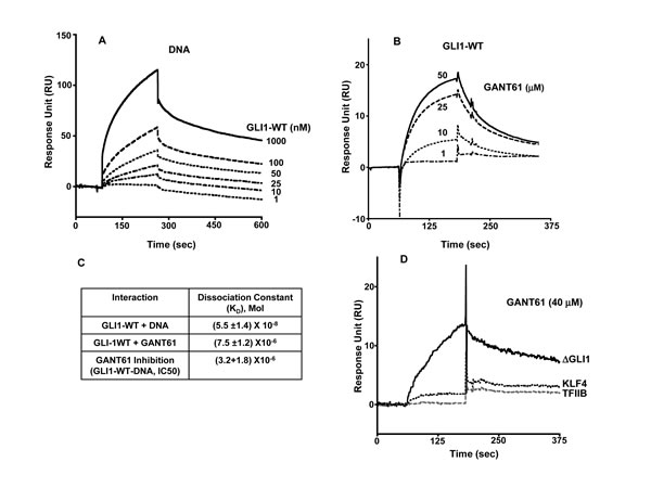 Surface Plasmon Resonance (SPR) of: A: Immobilized DNA with increasing concentrations of GLI1-WT as analyte: B: Immobilized GLI1-WT with determination of GANT61 binding in presence of increasing concentrations of GANT61 (1-50 µM); C: Dissociation Constants (K