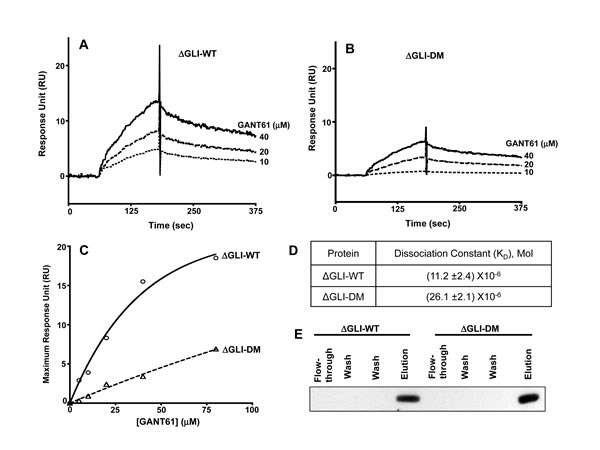 SPR conducted with immobilized ∆GLI-WT or ∆GLI-DM proteins following site directed mutagenesis of GLI1-WT, PCR amplification and protein purification of ∆GLI-WT without mutation, or ∆GLI-DM with both E119 and E167 sites mutated.