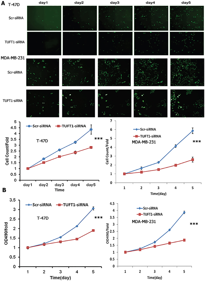 Cell proliferation with TUFT1 knockdown in T-47D and MDA-MB-231 cells were detected by Cellomics Array Scan VT1 and MTT assay.