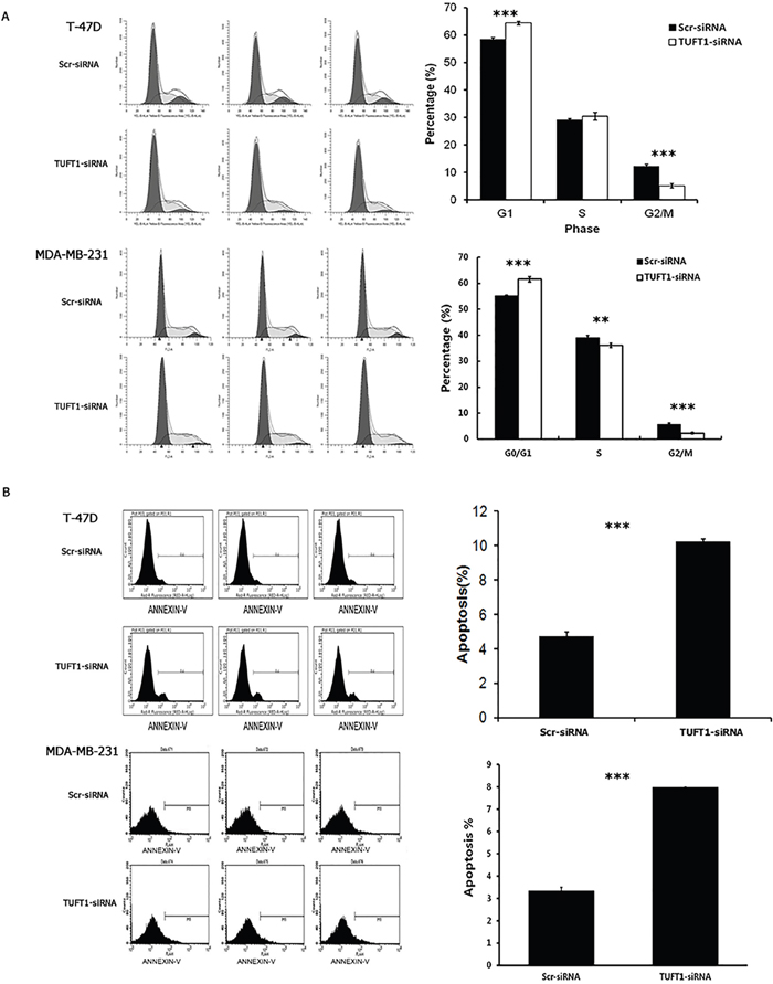 Knockdown of TUFT1 expression induced G1phase arrest and cell apoptosis in T-47D and MDA-MB 231 cells.