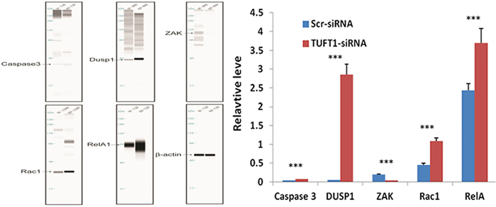 Confirmation of Caspase 3, DUSP1, ZAK, RAC1, RelA by automated western blot analysis system in MDA-MB-231 cells transfected with Scr- and TUFT1-siRNA.