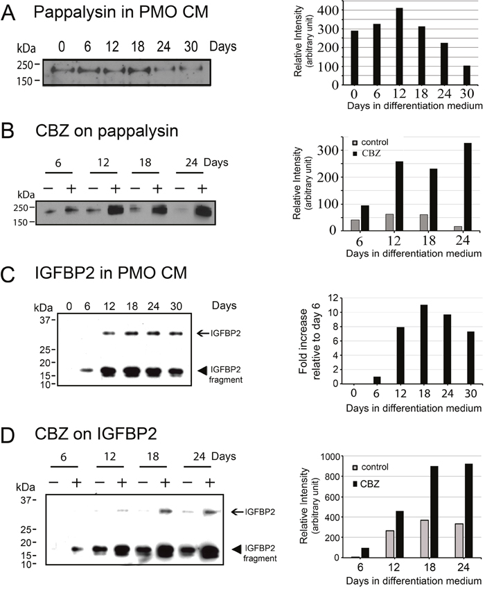 Effects of cabozantinib on PAPPA and IGFBP2 protein expression.