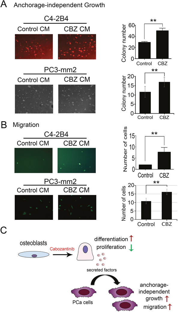 Effect of conditioned medium from cabozantinib-treated osteoblasts on anchorage-independent growth and migration of C4-2B4 or PC3-mm2 prostate cancer cells.