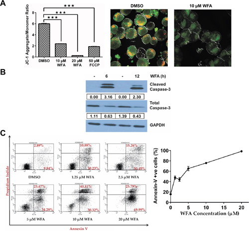 Effect of WFA on MMP, CASPASE-3 activation and annexin-V/PI staining in MDS-L cells.