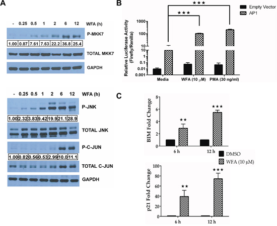JNK/AP-1 signaling is activated in WFA-treated MDS-L cells.