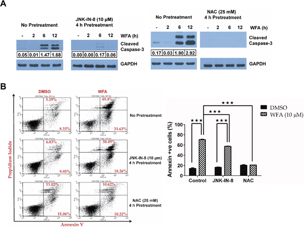 JNK/AP-1 signaling mediates apoptosis in WFA-treated MDS-L cells.