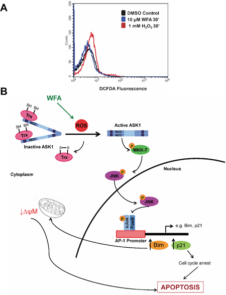 The role of ROS induction in WFA-mediated apoptosis signaling in MDS.