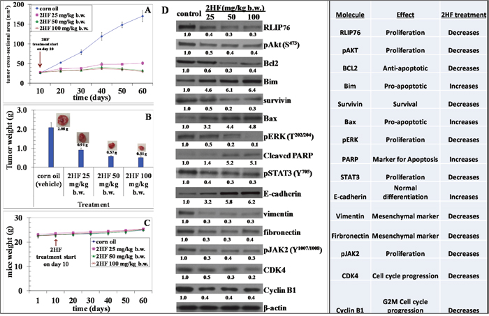 2HF decreases final tumor weight and regulates the levels of critical tumor proteins in MDA-MB-231 breast xenograft tumors.