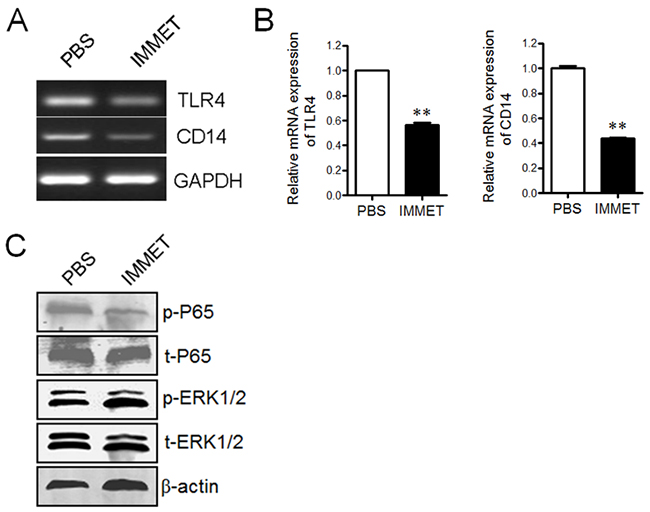 Immethridine could inhibit the signaling pathway by LPS stimulation.