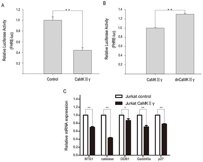 CaMKIIγ-mediated phophorylating FOXO3a reduces its transcriptional activity.