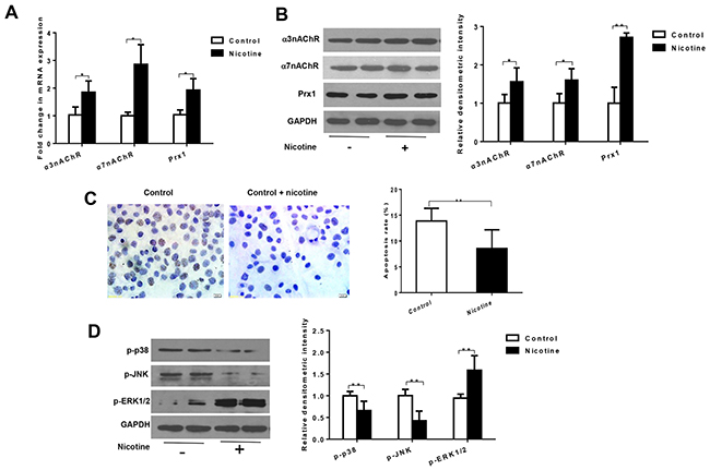 Nicotine increases expression of α3nAChR, α7nAChR and Prx1, and inhibits apoptosis in DOK cells.