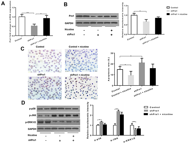 Effects of Prx1 knockdown on Prx1, apoptosis and MAPK in DOK cells.