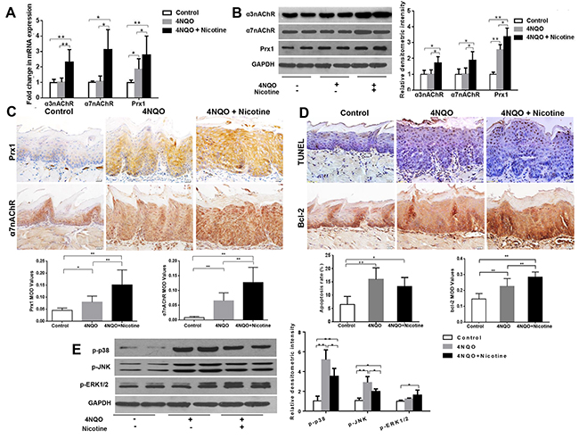 Effects of 4NQO and 4NQO + nicotine on Prx1, α3nAChR, α7nAChR, apoptosis and MAPK in Prx1 wild-type (Prx1+/+) mice.