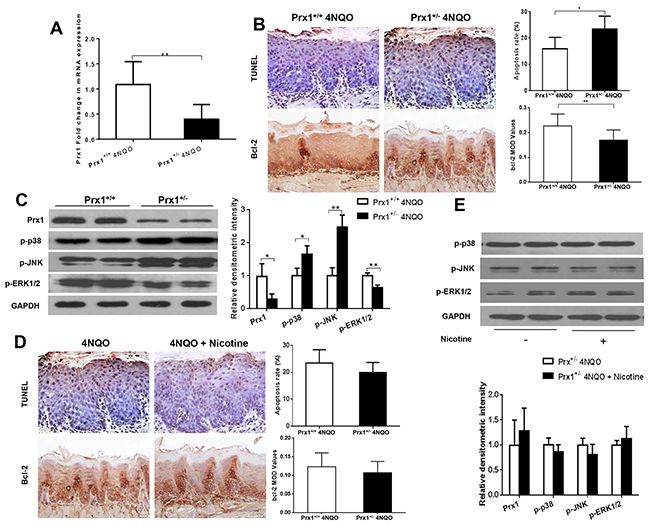 Effects of 4NQO and 4NQO + nicotine on Prx1, apoptosis and MAPK in Prx1 knockdown (Prx1+/-) mice.