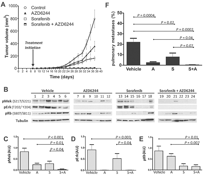 Combined treatment with SFN and AZD6244 results in enhanced tumor suppression in vivo.
