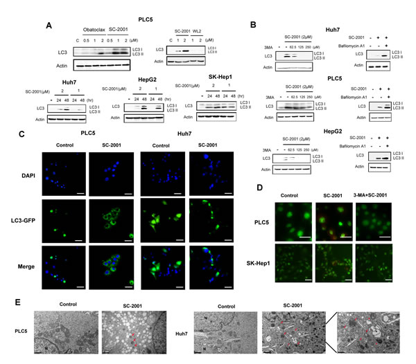SC-2001-induced autophagy in HCC cells.
