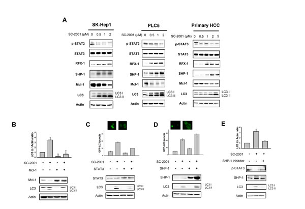 SHP-1-STAT3 signaling is involved in SC-2001-induced autophagy.