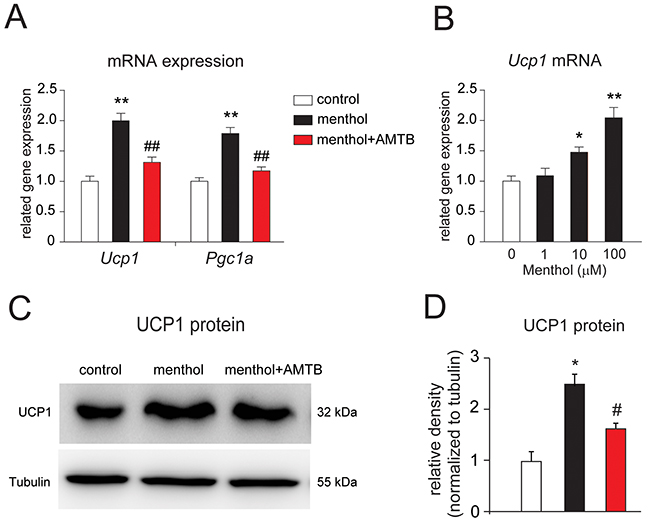 Menthol enhances thermogenic gene expression in mouse white adipocytes in culture.