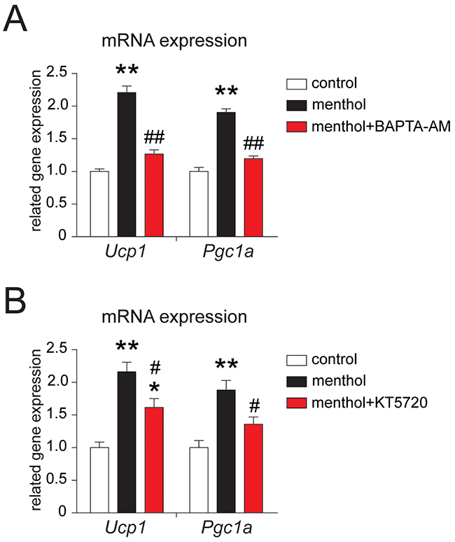 Effects of BAPTA-AM or KT5720 on menthol-induced thermogenic program in white adipocytes from mouse.