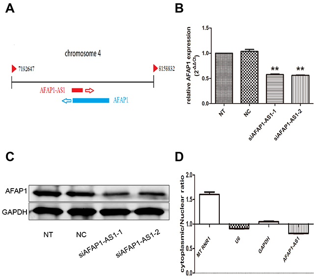 Regulating role of AFAP1-AS1 on AFAP1 expression.