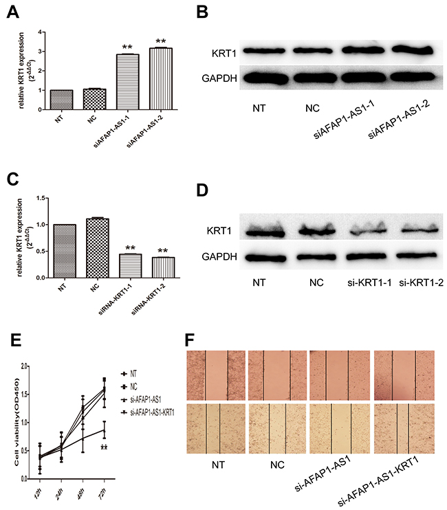 Regulating role of AFAP1-AS1 on KRT1 expression.