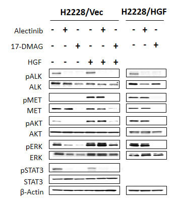 17-DMAG reduced MET protein expression and inhibited downstream pathways, even in the presence of HGF.