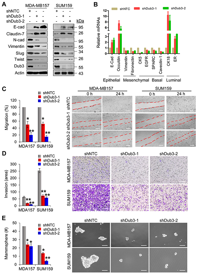 Knockdown of Dub3 inhibits migration, invasion and CSC-like characteristics of BLBC cells.
