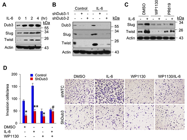 IL-6-induced BLBC cells invasion is mediated by Dub3.