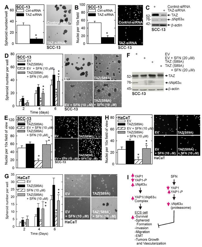TAZ stimulates the ECS cell phenotype.