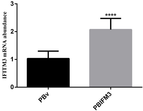 Overexpression of the swine IFITM3 gene in PBIFM3 cells.