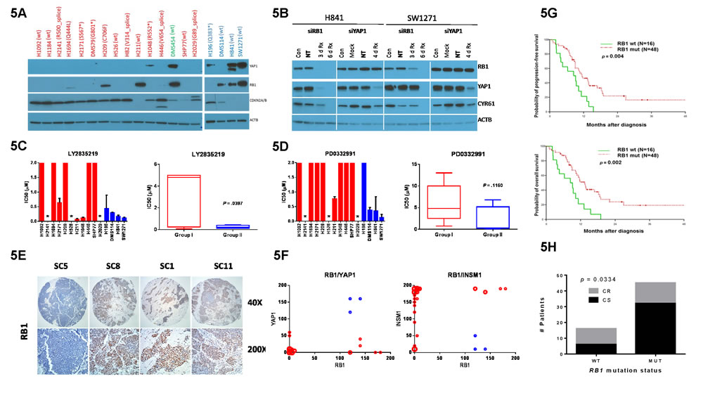 Role of RB1 in YAP1 expression and SCLC subgroup stratification.