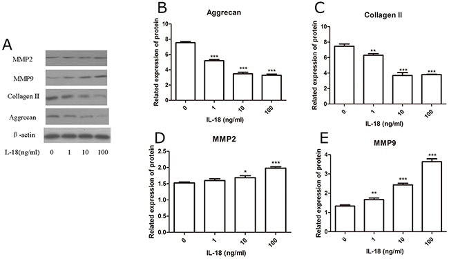 Up-regulation of matix-degrading enzymes and down-regulation of chondrocyte-specific proteins caused by IL-18 were observed in SD rat chondrocytes.