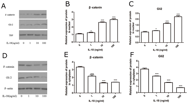 IL-18 induced nuclear translocation of β-catenin and Gli-2.