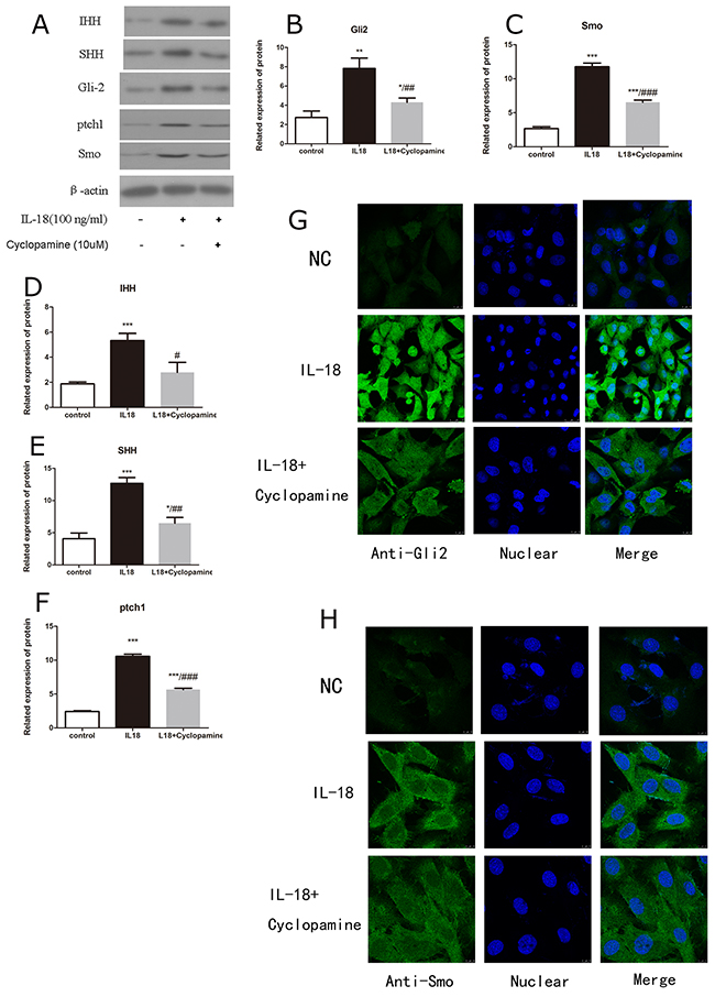Cyclopamine worked as a potent antagonist of Hedgehog pathway.