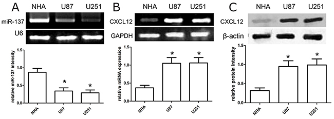The expression profile of miR-137 and CXCL12 in GBM cell lines.