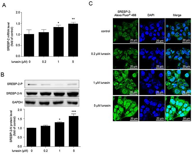 Lunasin increases nuclear form of SREBP-2 in HepG2 cells.