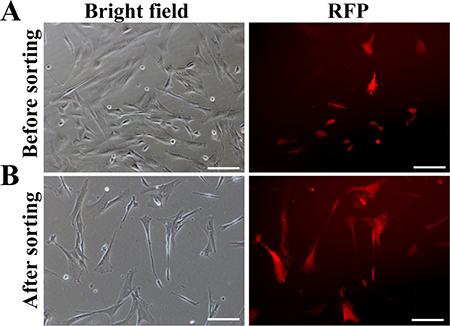 Generation of transgenic donor cells.