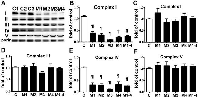 Respiratory enzyme complex deficiency in MELAS fibroblasts.