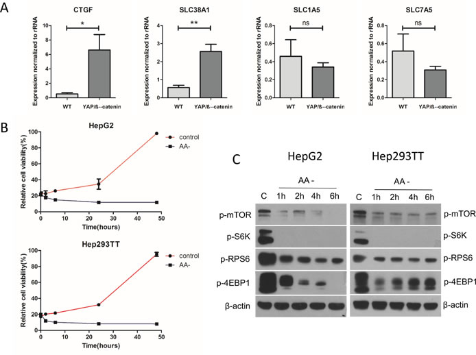 Amino acids are the major factor regulating mTORC1 function in the YAP/β-catenin-induced HB model.