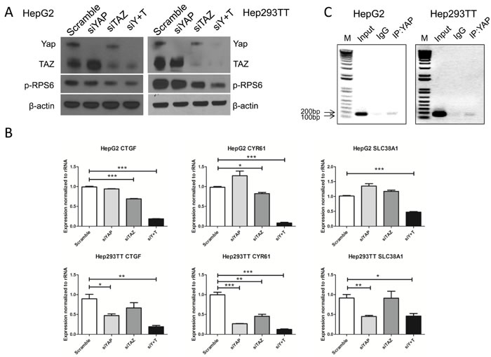 YAP and TAZ activate mTORC1 function