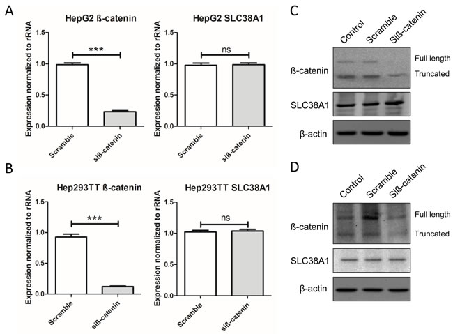 Genetic disruption of β-catenin does not affect SLC38A1 levels in HB cell lines.