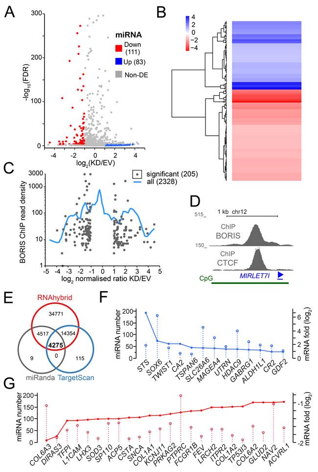 The RNA-seq analysis of miRNA upon BORIS depletion.