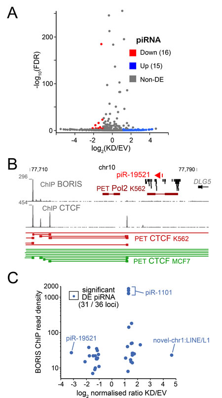 The RNA-seq analysis of piRNA.