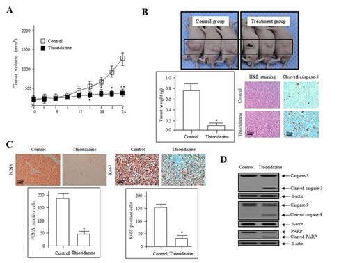 Thioridazine inhibits tumor growth