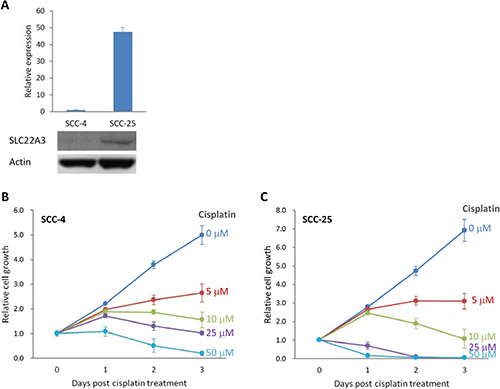 Sensitivity to cisplatin correlated with the level of SLC22A3 expression.